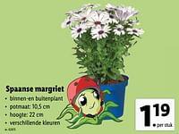 Spaanse margriet-Huismerk - Lidl
