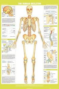 Aanbiedingen Chartex Skeleton - Maxi Poster (654) -  - Geldig van 21/05/2021 tot 26/06/2021 bij Expo XL