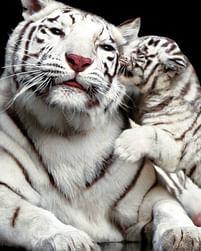 Aanbiedingen Tiger Kiss - Maxi Poster (B-605) -  - Geldig van 21/05/2021 tot 26/06/2021 bij Expo XL